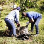 Los custodios del medio ambiente han sembrado 100 mil árboles en el Eje Cafetero